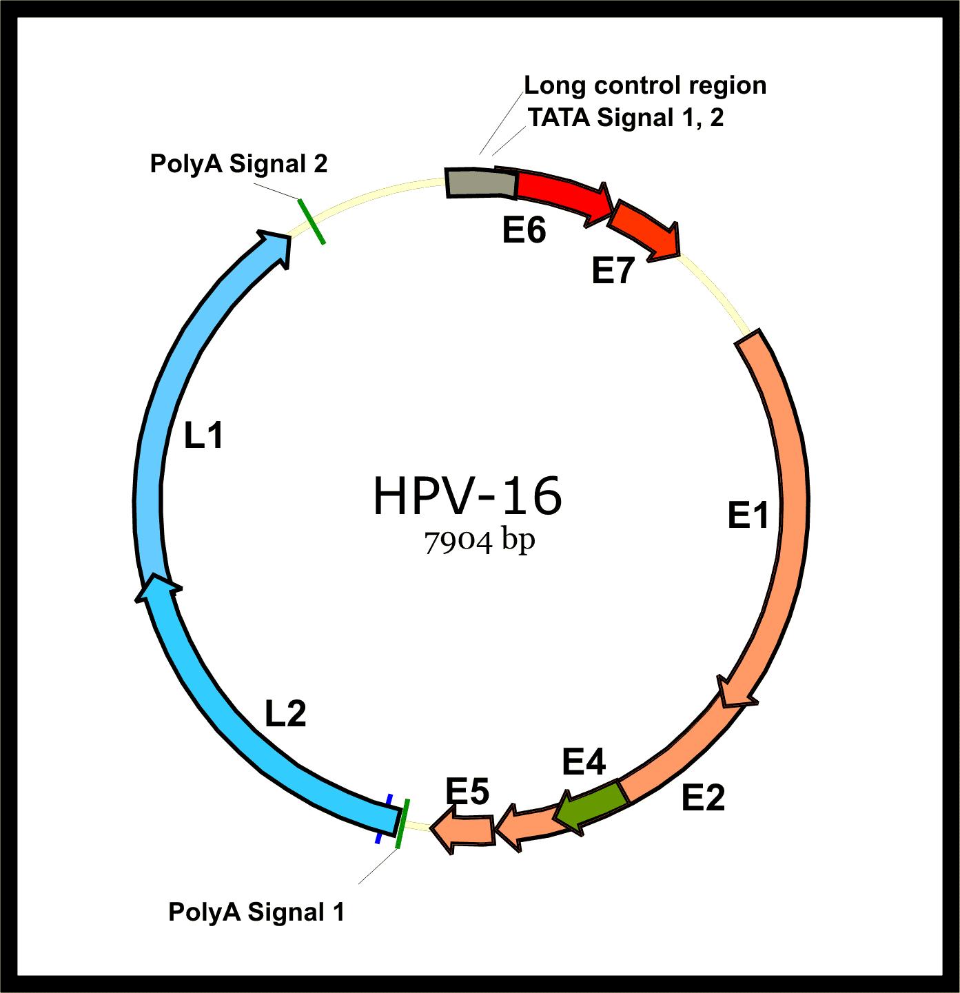 papillomaviridae estructura