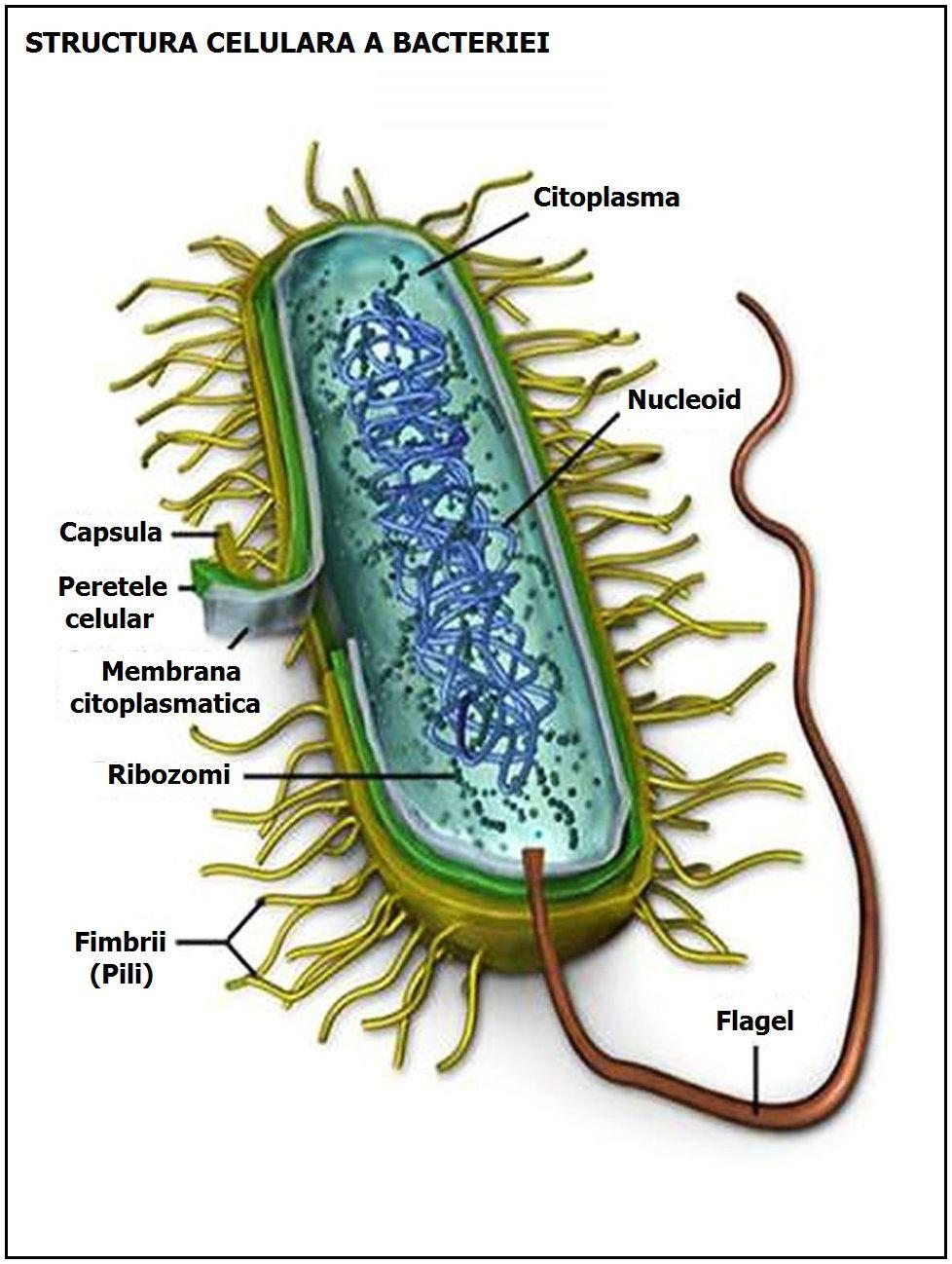 bacteriile intestinale nu pot pierde în greutate