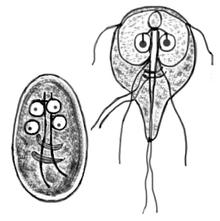 bacterii giardia