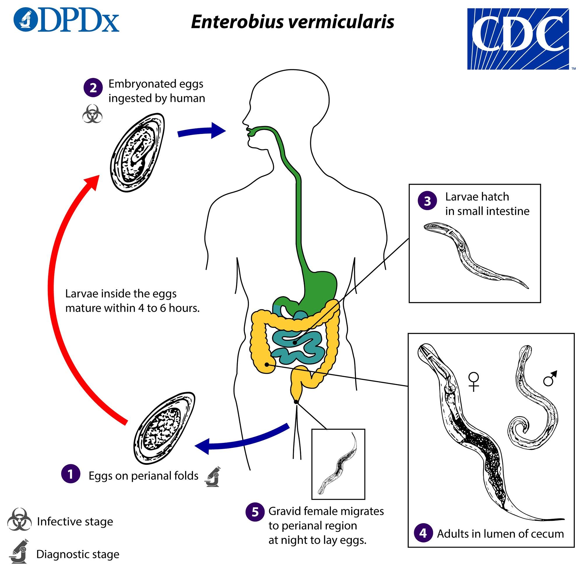 Enterobius vermicularis oxyuris, Oxyuris (enterobius) vermicularis