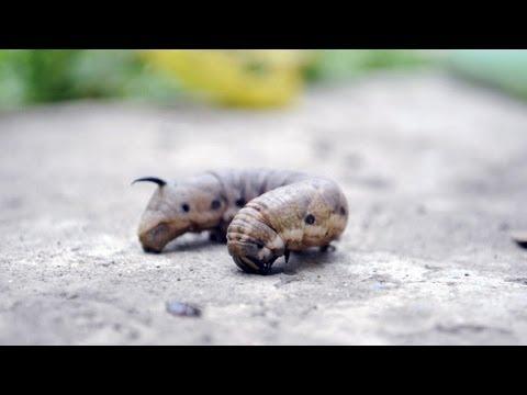 Viermele este insecta,