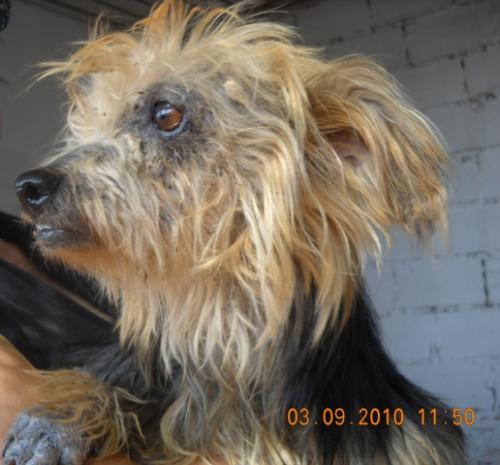 Dermatita atopica in Yorkshire Terrier Dermatite yorkshire cura