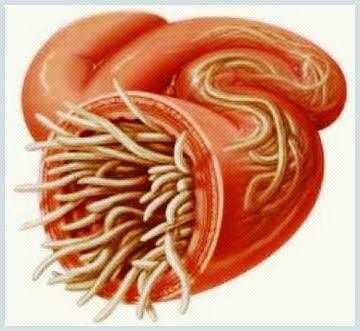 szalagféreg parazita
