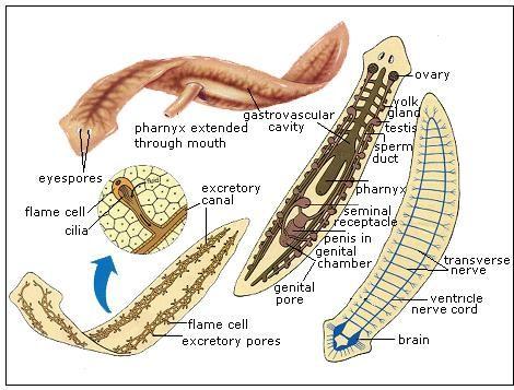 phylum platyhelminthes tip coelom paraziti in creierul uman