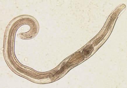oxiuros vermiculares squamous papilloma under tongue