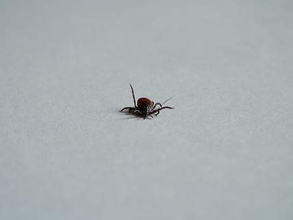 parazit cruger