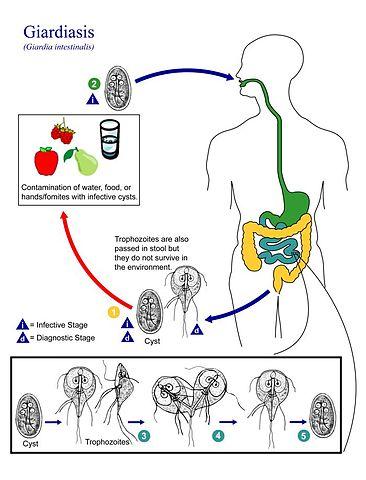 dimensiunea și forma viermei rotunde hpv impfung genitalwarzen