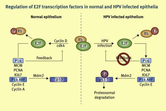Hpv high risk positive result, HPV detecție tipuri cu risc crescut + genotipare extinsă