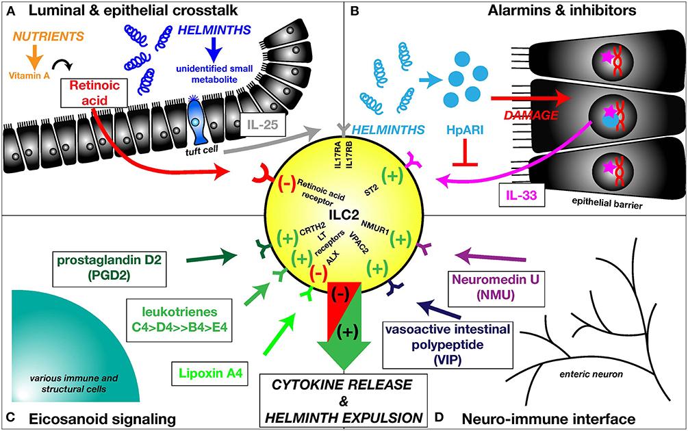 helminth infection leukocyte
