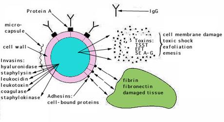 s aureus toxin