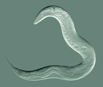 oxiuros y estrenimiento human papillomavirus use in