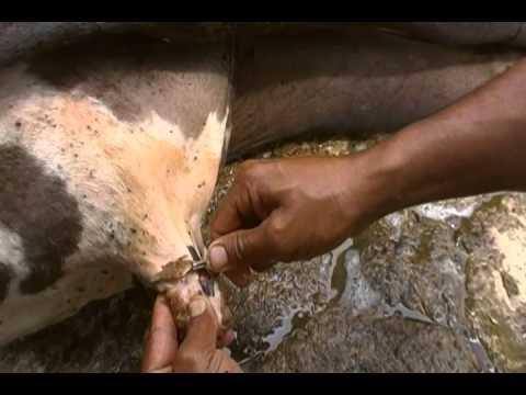 Papilomatosis bovina zoonosis
