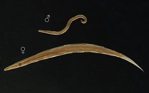 enterobius vermicularis night