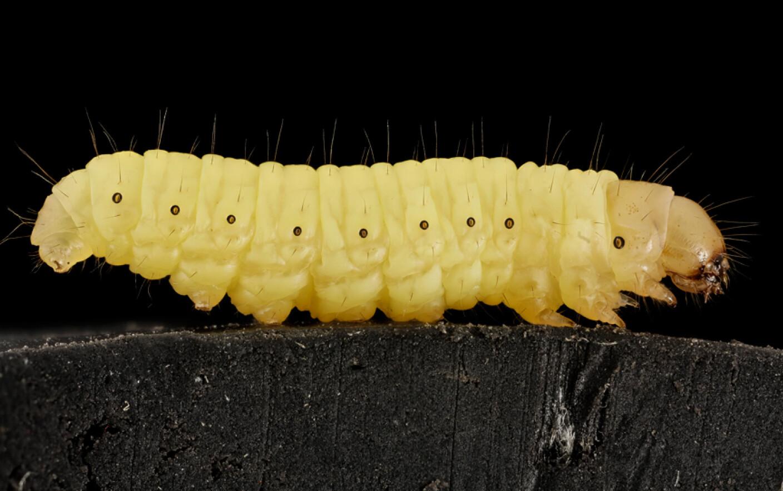 viermii sunt insecte