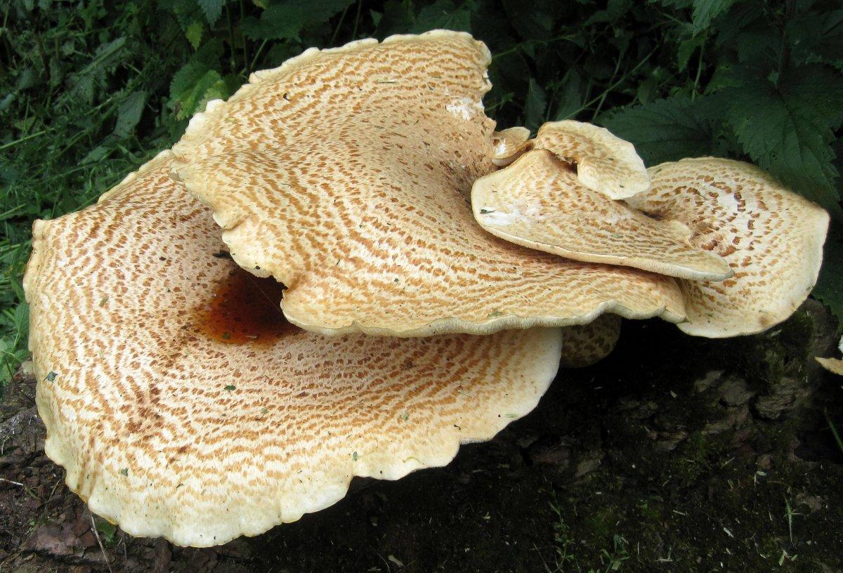 Guma ciuperca este un parazit. Ciupercă de ciuperci