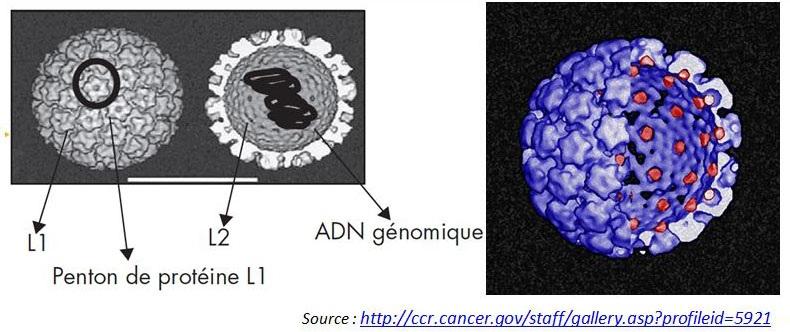 Du papillomavirus humain