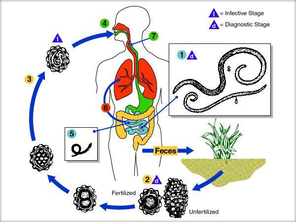 ce viermi sunt în anus la om medicamente viermi doctor