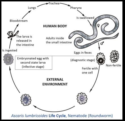 cum să elimini un vierme din corp