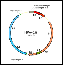 Hpv virus dna or rna