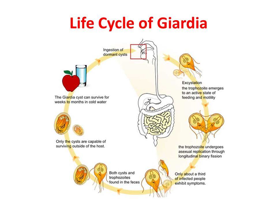 Helmintox voor de behandeling van Giardia's, Wormen in kleine dan om te behandelen