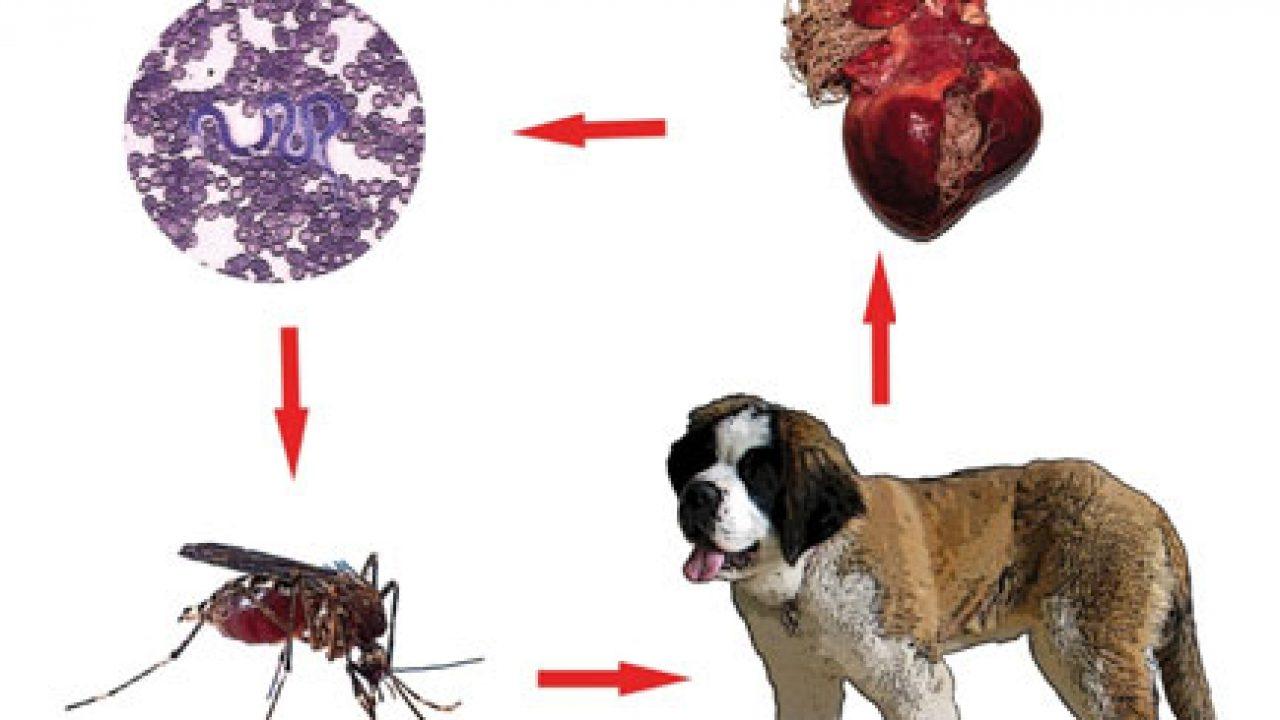 Paraziti u stolici analiza - Forum viermi Lamblia