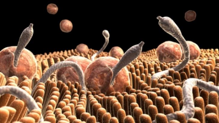 Parazitul pică din viermi