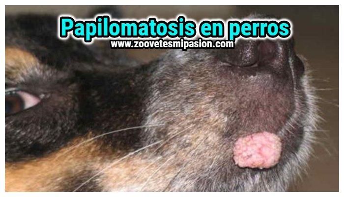 papiloma virus canino tratamiento