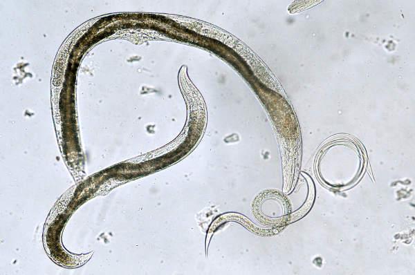 viermi în mediu alcalin