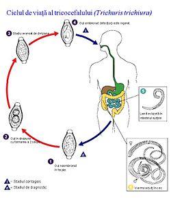 ciclul parazitic al viermilor papillomavirus infection homme