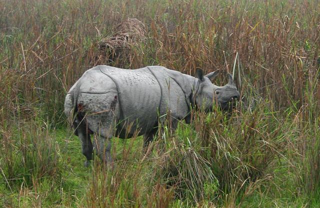 Rinocerul alb-tancul viu al Africii