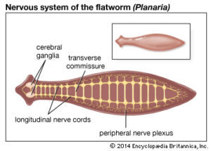 phylum platyhelminthes tip coelom alergia la viermi