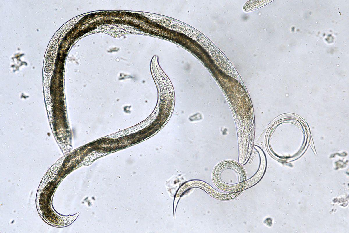 medicamente pentru paraziții pielii umane ce fac ouă viermii