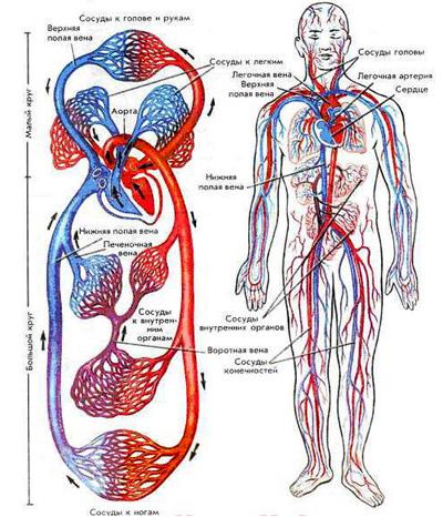 ciclul circulator în corpul uman suplimente detoxifiante opiace