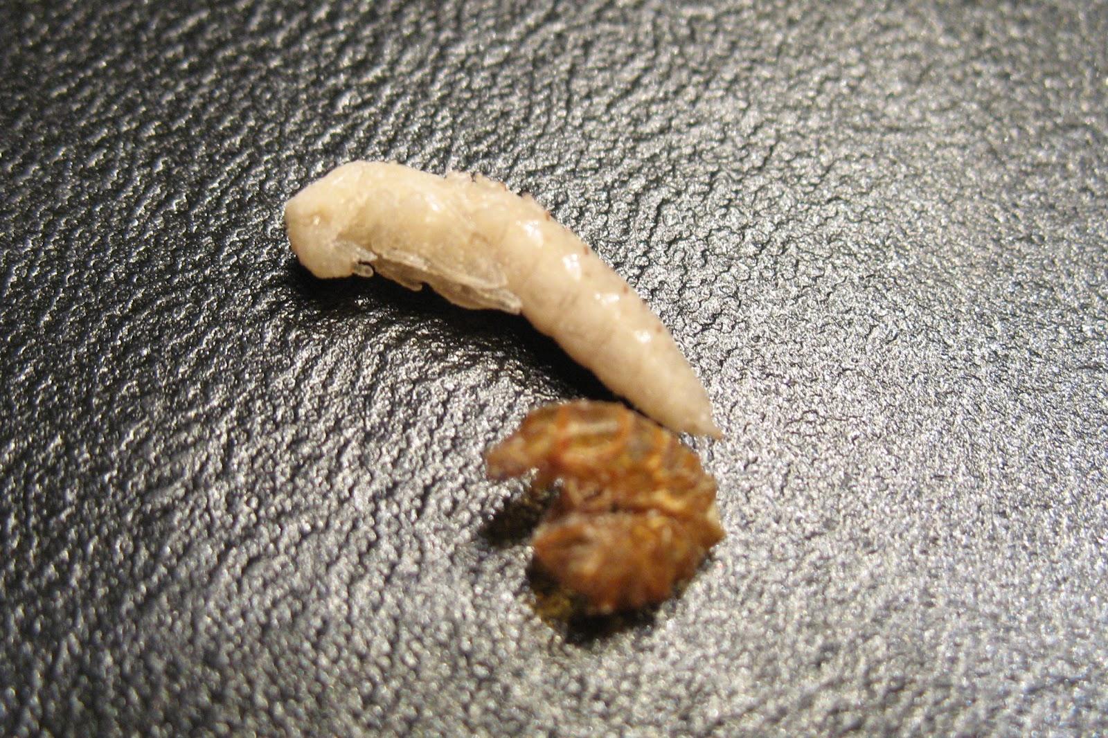 cât de repede cresc viermii parazitoze biliare