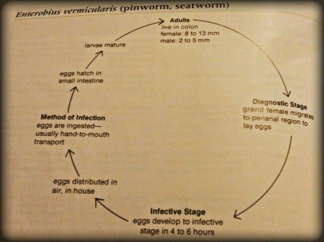 enterobiasis pathogenesis