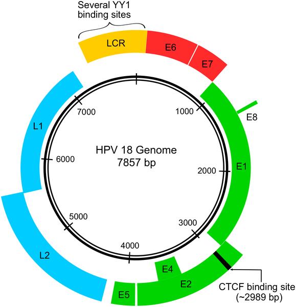 Papillomas virus oncogenes Subiecte în Sex