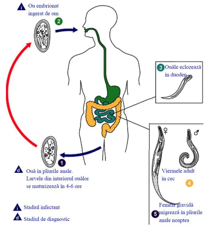 stadiile de tratament ale viermilor la copii hpv cin 2 treatment