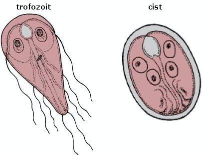 giardiază în organism