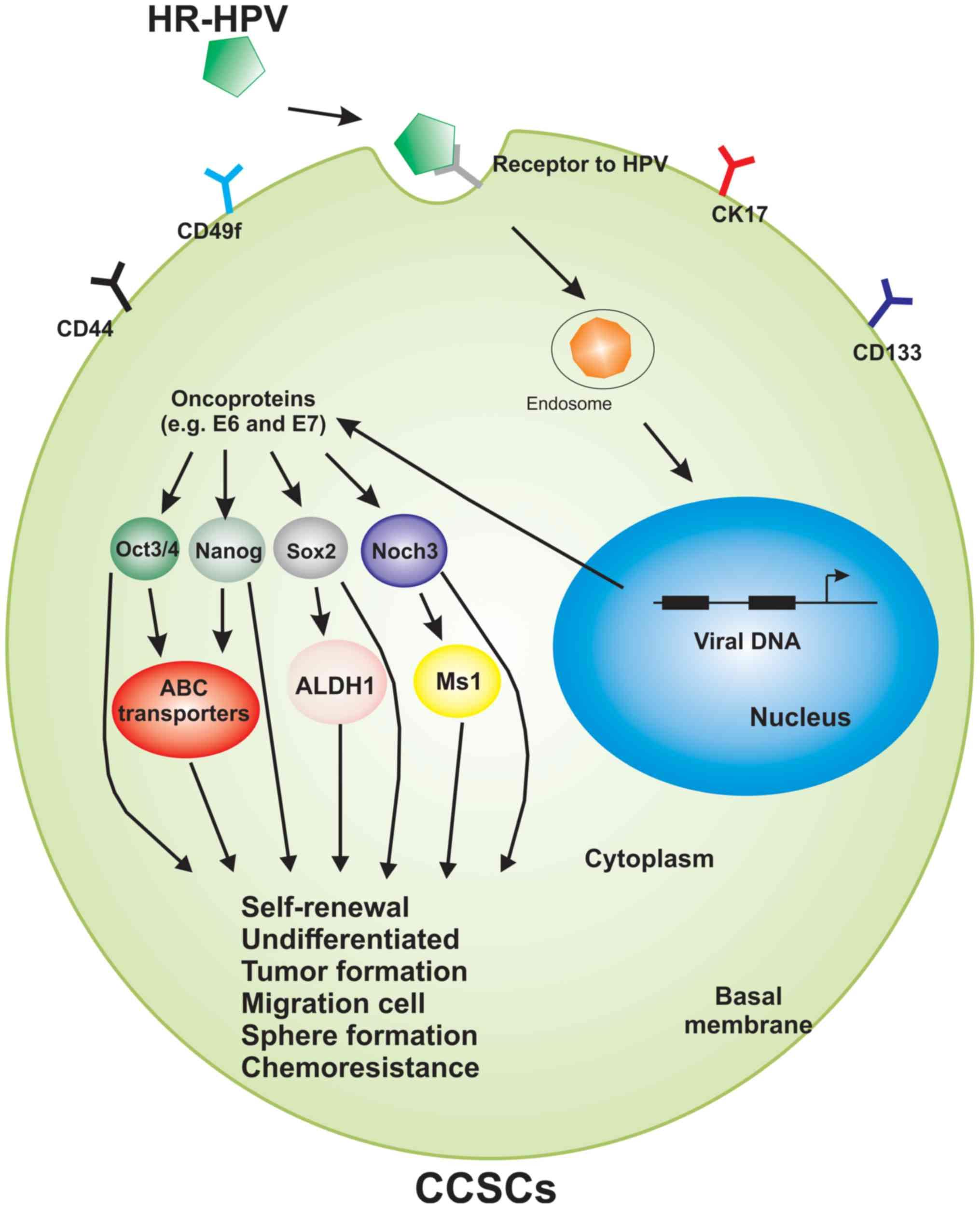 hpv virus oropharyngeal cancer paraziti dactylogyrus în trematode monogenetice