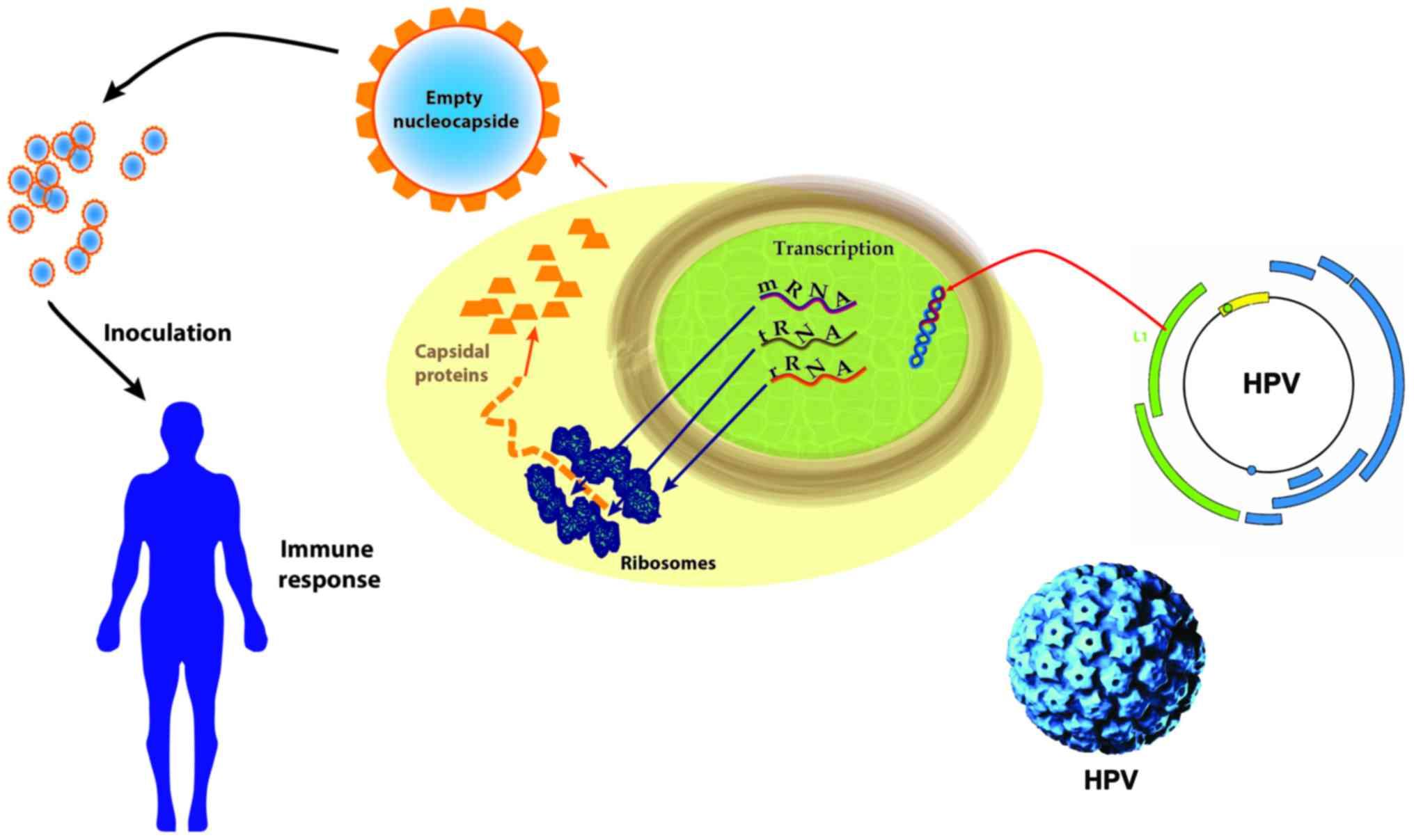 hpv vaccine papillomatosis human papillomavirus infection vaccine