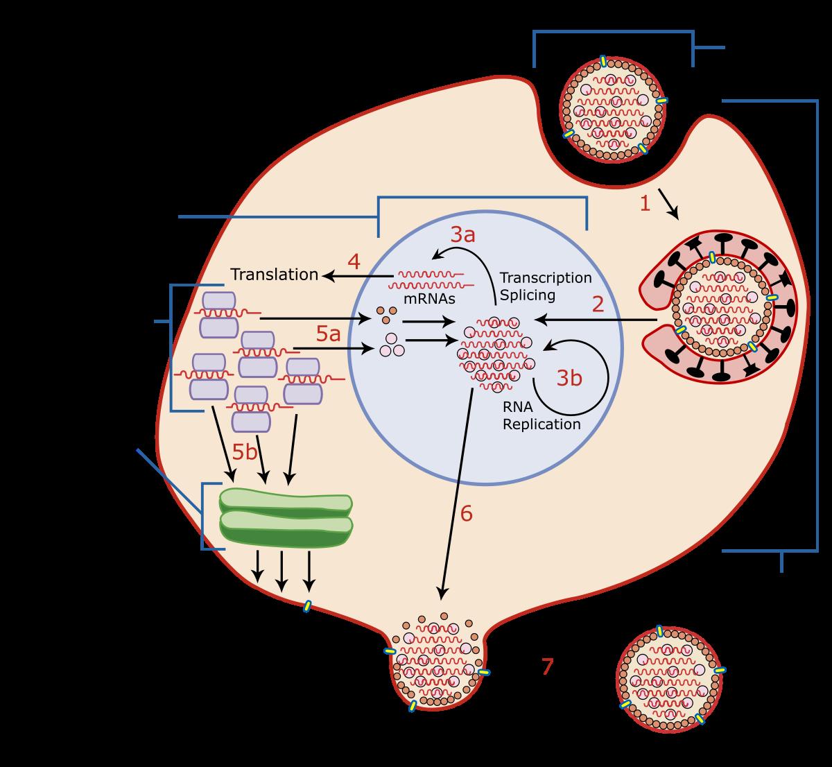 Fiziopatologia infecţiei cu HPV apărute în contextul pacienţilor seropozitivi pentru infecţia HIV