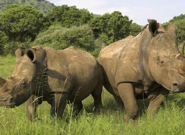 Rinocerul pitic, animalul de companie perfect (Galerie foto)