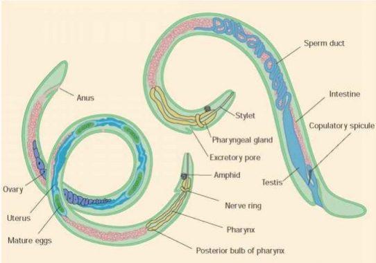 nemathelminthes peranan hewan