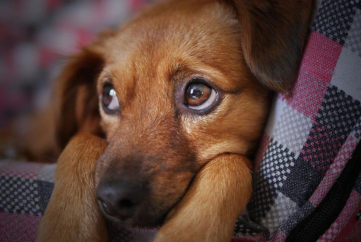 o que e giardia em cachorro