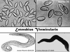 Enterobiasis (oxiuriasis), Infectia parazitara cu oxiuri
