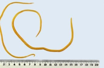 Oxiurus nome cientifico