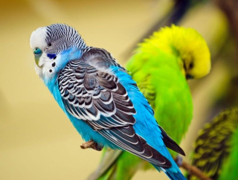 papagal gaura de vierme