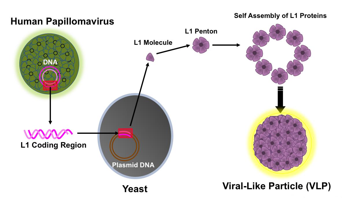 Human papillomavirus vaccine and warts