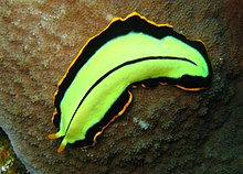 phylum platyhelminthes clasa turbellaria helmintox sirop