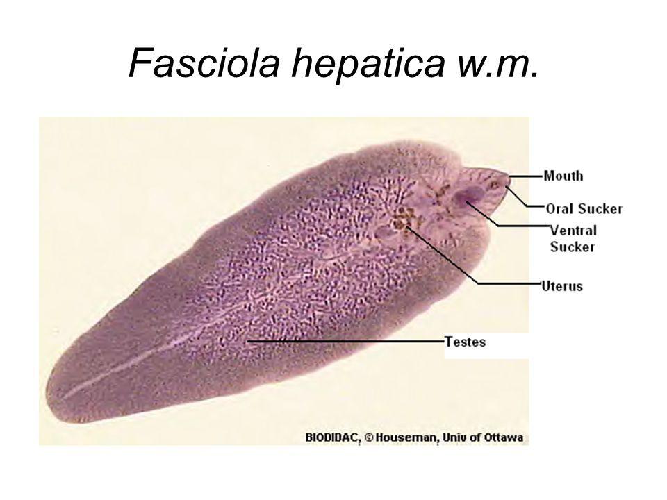 phylum platyhelminthes clasa turbellaria yuz paraziti